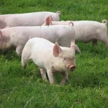 Продається комбікорм для свиней