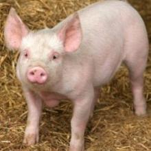 Реализуем комбикорм для свиней