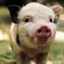 Реалізуємо БМВД для свиней
