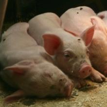 Пропонуємо корми для годування свиней