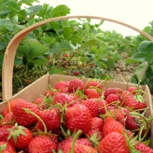 Купити розсаду полуниці за доступною ціною
