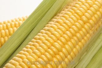 Насіння гібридів кукурудзи – гарантія вашого урожаю