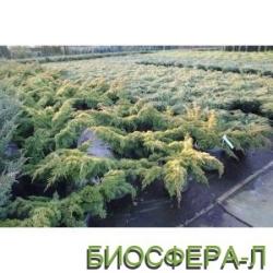 Купить можжевельник китайский Плюмоза Ауреа (Juniperus chinensys Aurea)