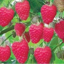 Купить саженцы самого популярного сорта малины Полка