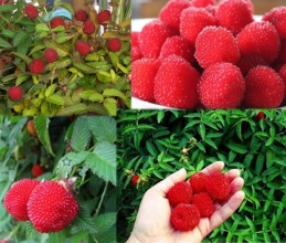 Купить саженцы малины земляничной (Rubus illecebrosus)