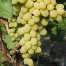 Замовити садженці винограду поштою