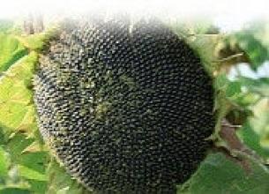 Насіння соняшника – купити вигідно в «ЄвроАгроТрейд»