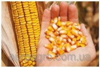 Купить семена кукурузы - цена лучшая в Украине!