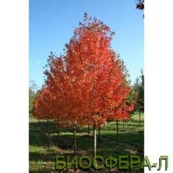 В наличии саженцы деревьев декоративных - клен остролистый «ОтомБлейз»