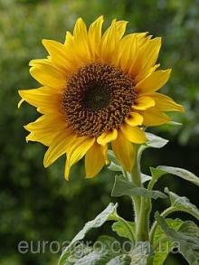 Якісний посівний матеріал соняшника – запорука вашого урожаю