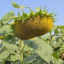 Закупівля соняшника оптом за найкращими цінами