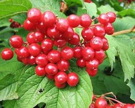 Саженцы ягодных — заказать в «СонцеСад»