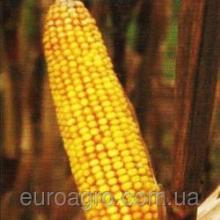 Насіння кукурудзи – купити стало набагато легше