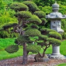 Купити декоративні хвойні дерева і чагарники