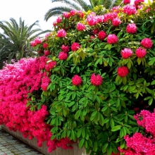 Купити декоративні рослини - «Димид»