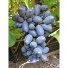 У нас можна купити саджанці винограду Кодрянка (Полтава, Дніпро)