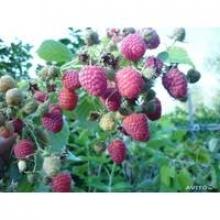 Качественные саженцы малины купить в Украине