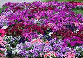 """Заказать семена цветов петунии - интернет-магазин """"Гелиос"""""""