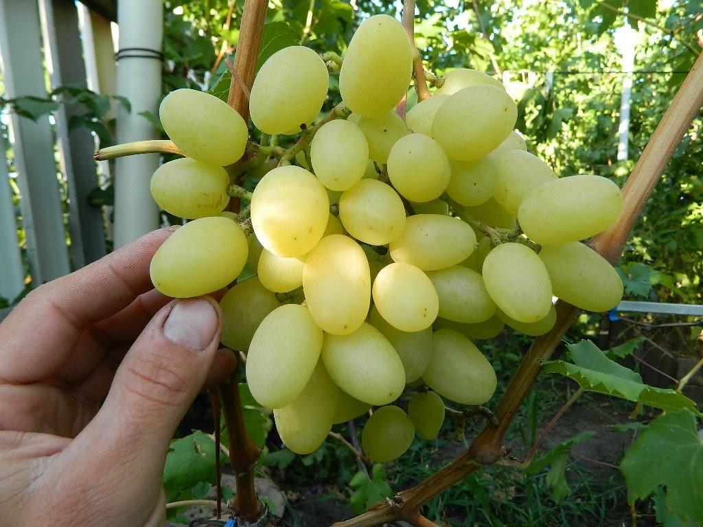 Виноград інтернет-магазин. Купити саджанці винограду Конвалія