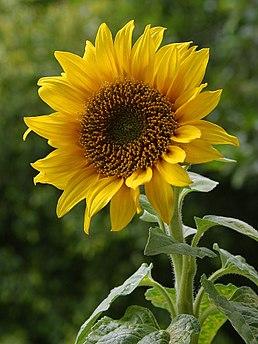Пропонуємо збирання соняшнику