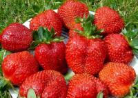Пропонуємо купити саджанці полуниці
