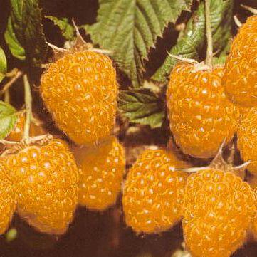 Саджанці малини купити оптом (жовта)