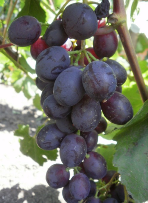 Каталог сортів винограду. Купити саджанці винограду Аюта