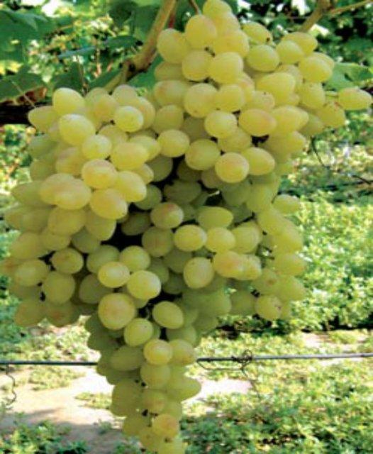 Купить саженцы винограда по почте наложенным платежом. Виноград кишмиш