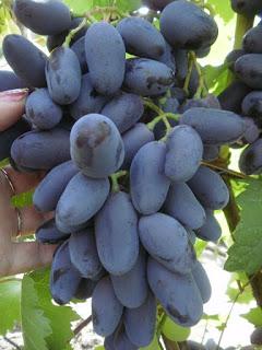 Купити саджанці винограду поштою. Сорт Байконур