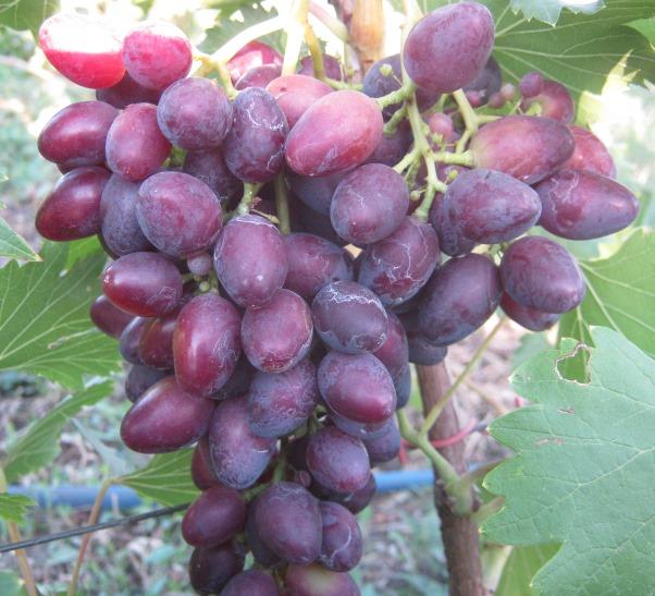 Купить оптом саженцы винограда недорого