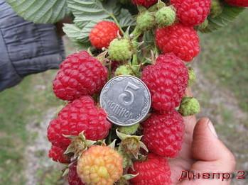 Ремонтантная малина ранний урожай купить