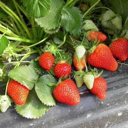 Саджанці полуниці оптом та вроздріб