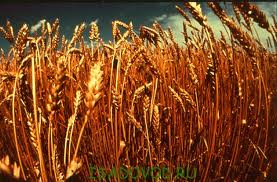 Насіння пшениці озимої, купити в Харкові