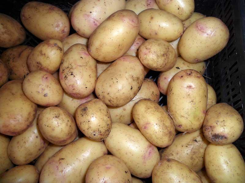Голландские сорта картофеля заказать по почте