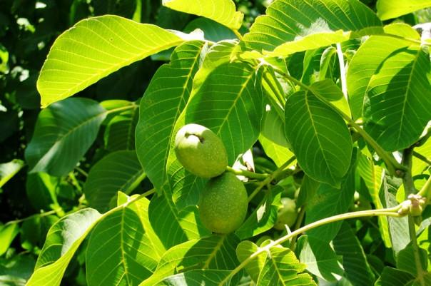 Саженцы грецкого ореха купить по доступной цене