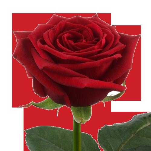 Продаж саджанців троянд з доставкою по Україні