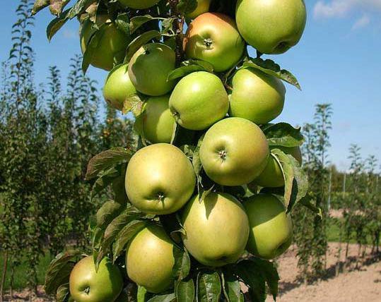 Купить саженцы яблони с доставкой по Украине
