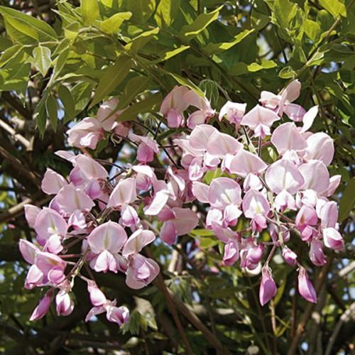 Саджанці з Польщі - декоративні рослини купити оптом