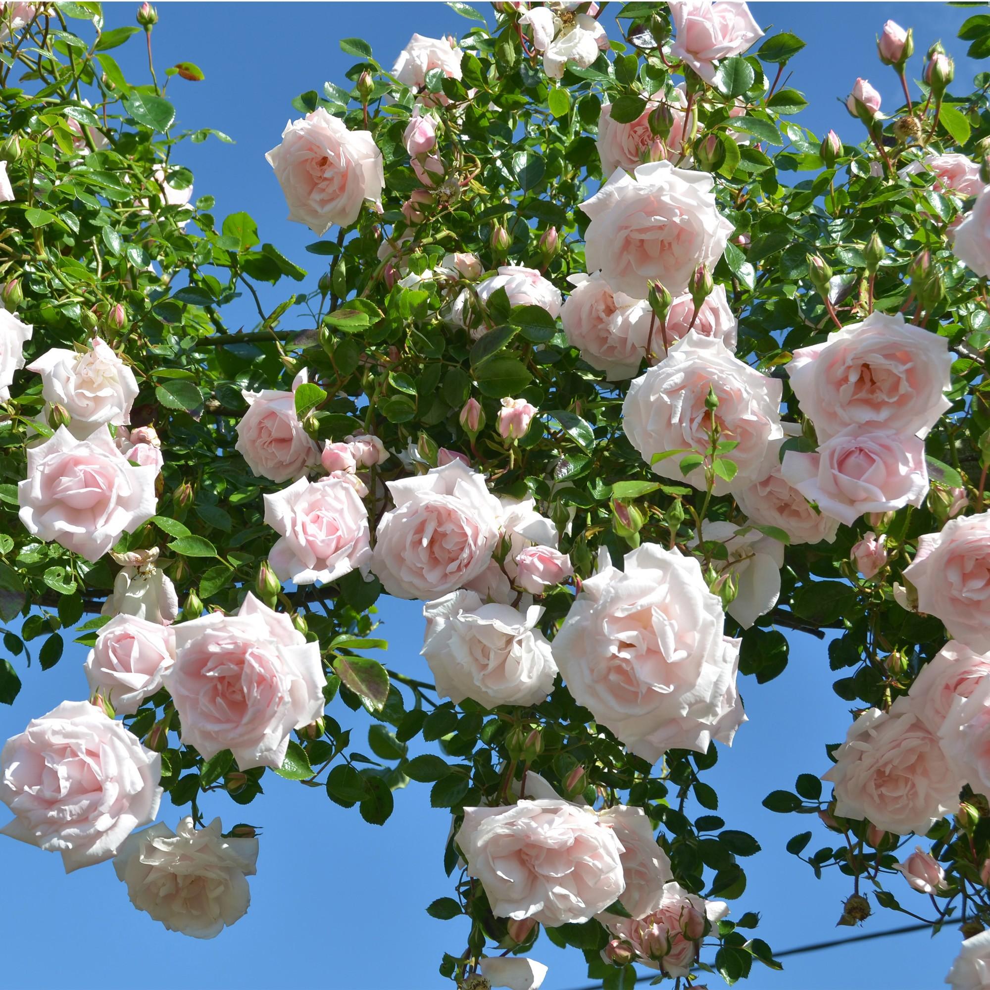 Заказать саженцы роз почтой сорт Нью Даун