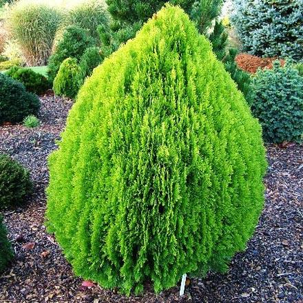 Предлагаем саженцы декоративных деревьев по доступной цене