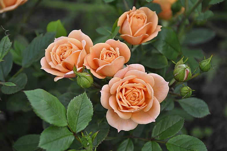 Заказать саженцы роз почтой Априкот Клементин