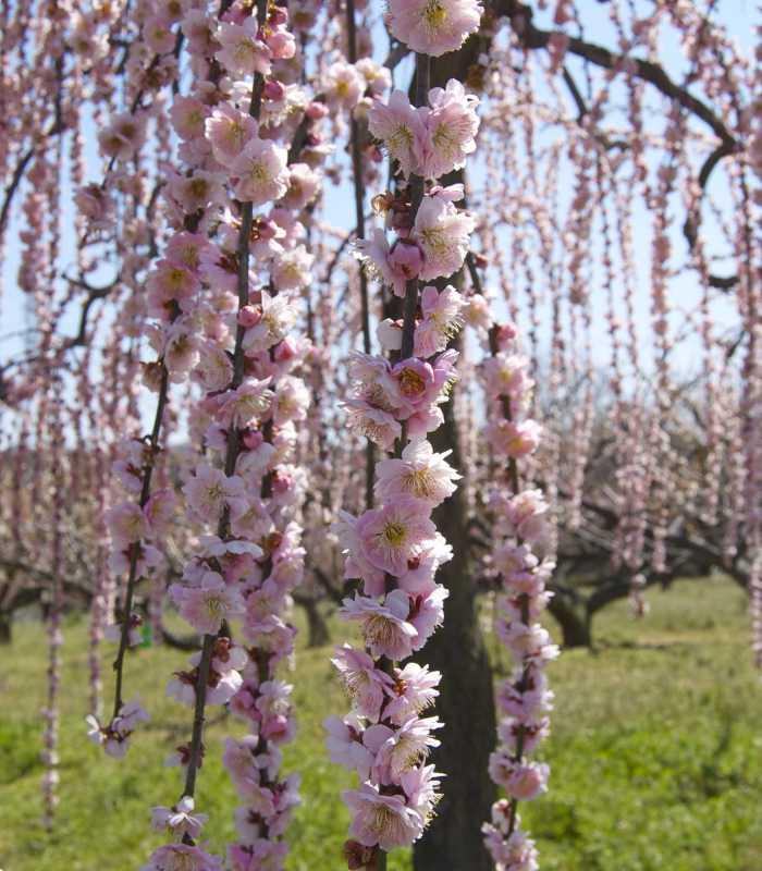 Декоративные деревья Украина: купить недорого