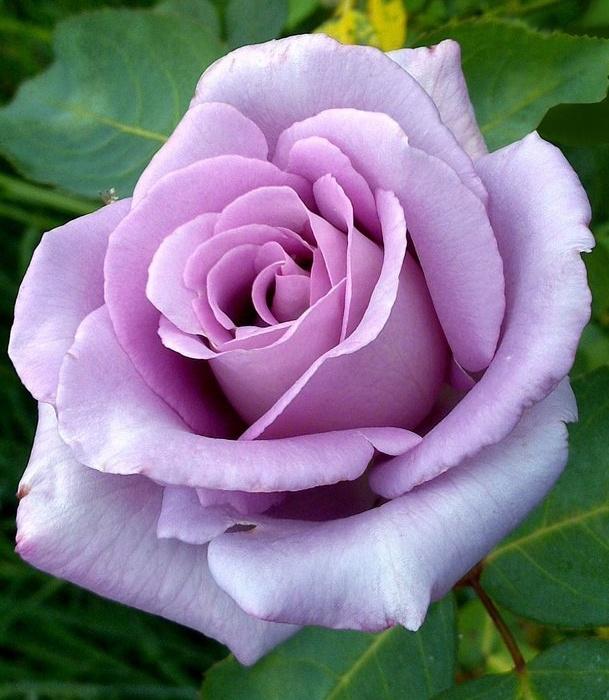 Купити саджанці троянд в інтернет магазині СонцеСад