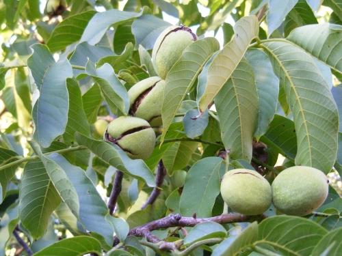 Купить саженцы грецкого ореха в Украине