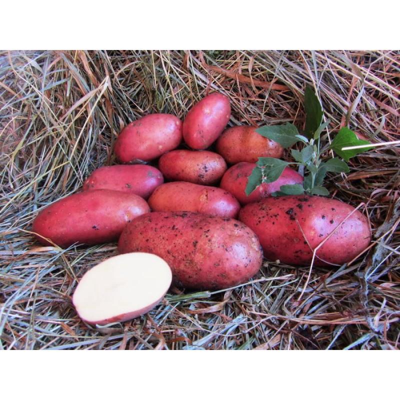 Покупайте голландские сорта картофеля с доставкой