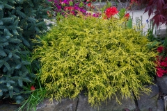 Розплідник хвойних деревШкілка Кам'янецька — широкий асортимент рослин!