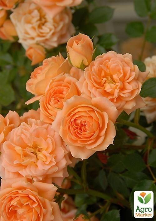 Плетистые розы сорта Фул Мун и Казино
