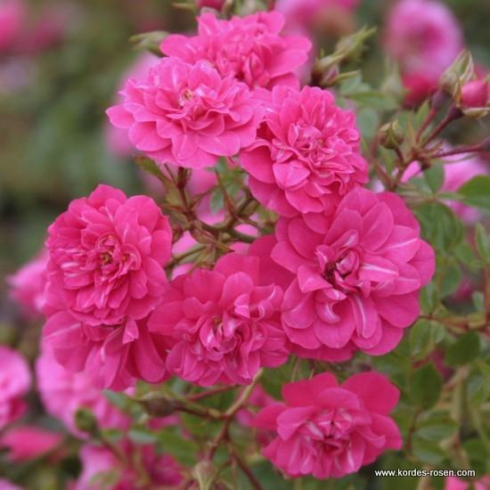 Саджанці троянд оптом і вроздріб