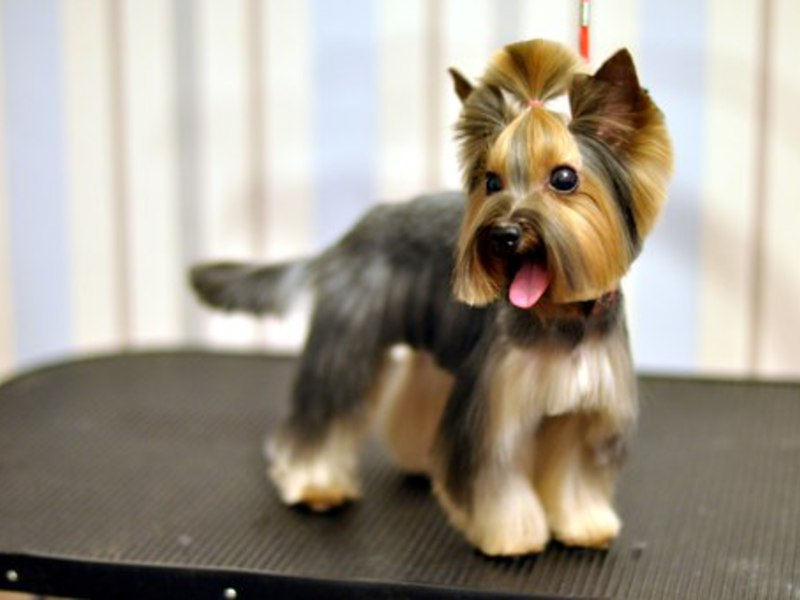 Выполняем креативные стрижки йорков и других пород собак