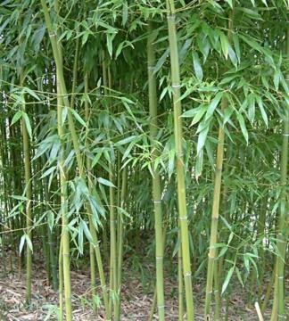 Саджанці з розплідників Європи: бамбук купити недорого